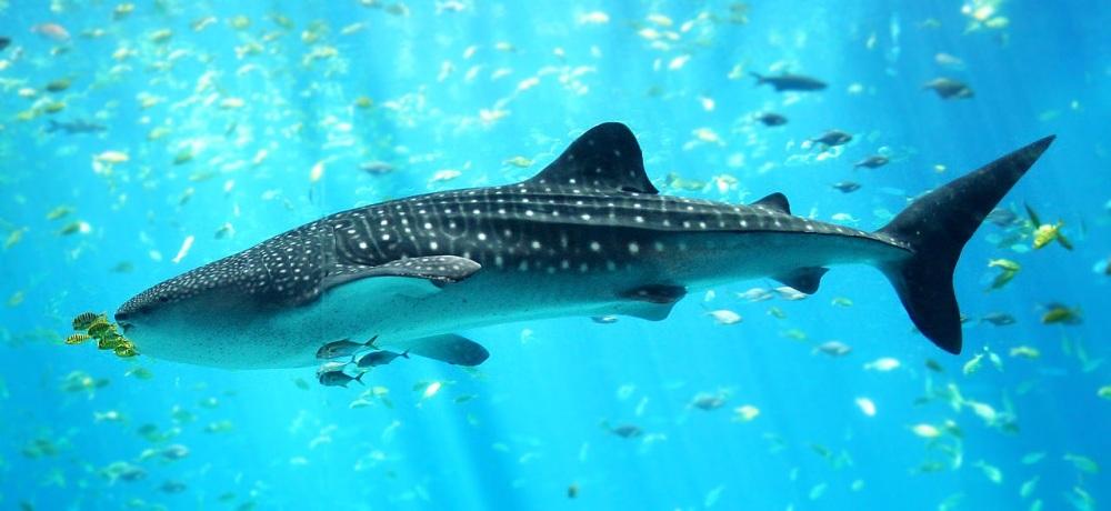 A whale shark. Photo credit: Wikimedia