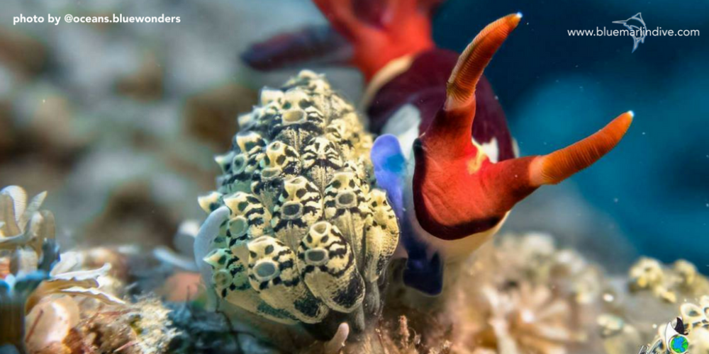 macro-nudibranch-indonesia-scuba-diving.png